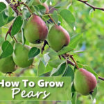 How To Grow Pears