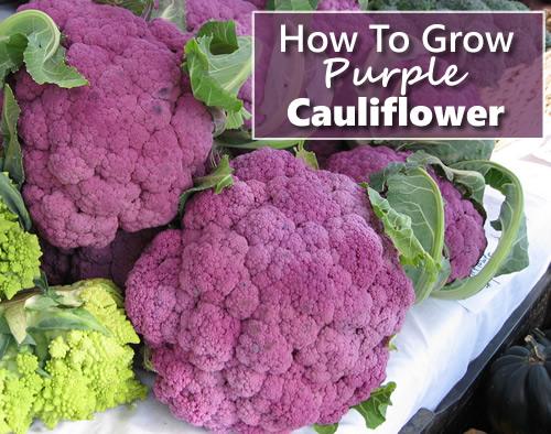 How To Grow Purple Cauliflower