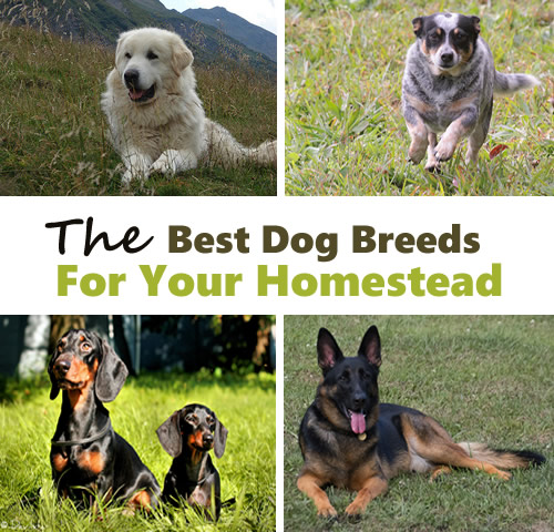 The Best Homestead Dog Breeds