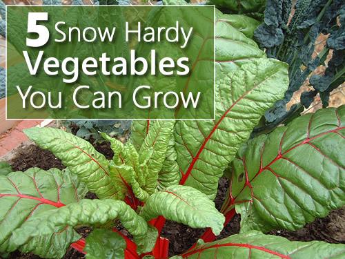 5 Snow Hardy Vegetables You Can Grow