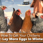How To Get Your Chickens To Lay More Eggs In Winter