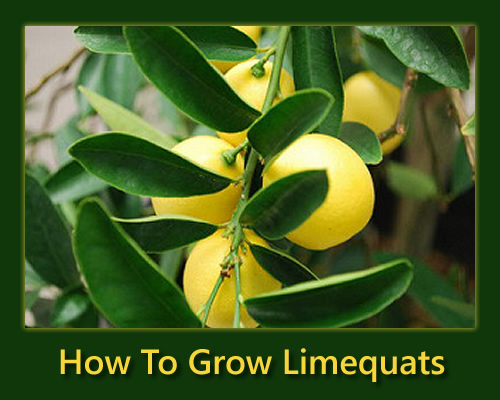 How To Grow Limequats
