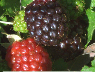How To Grow Dewberries