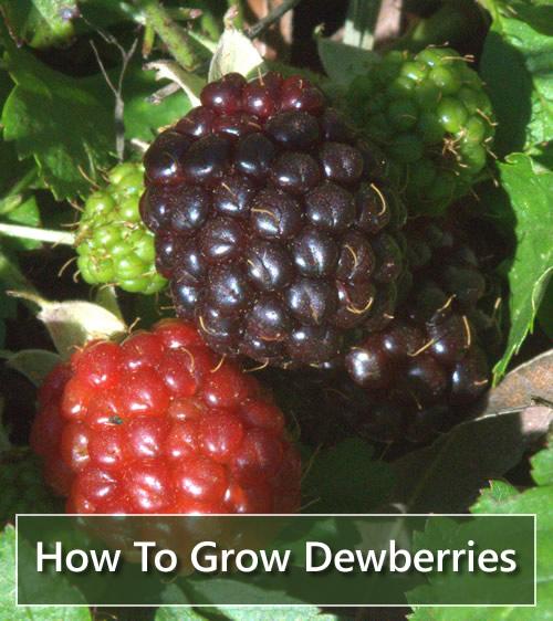 How To Grow Dewberries