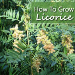 How To Grow Licorice