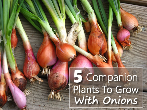 5 Companion Plants To Grow With Onions