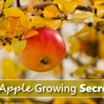 6 Apple Growing Tips
