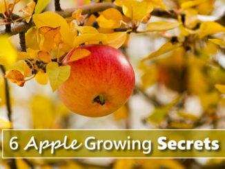 6 Apple Growing Tips