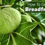 How To Grow Breadfruit