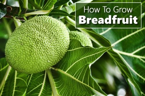How To Grow Breadfruit