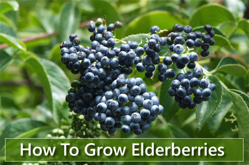 How To Grow Elderberries