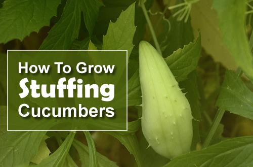 how to grow cucumbers inside